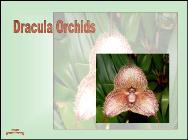 Dracula orchids
