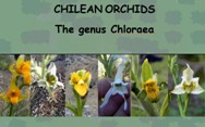 CHILEAN ORCHIDS<BR/>Chloraea