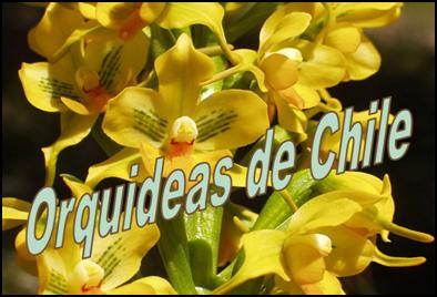 Orchids of Chile<BR/> Orquideas  Chilenas